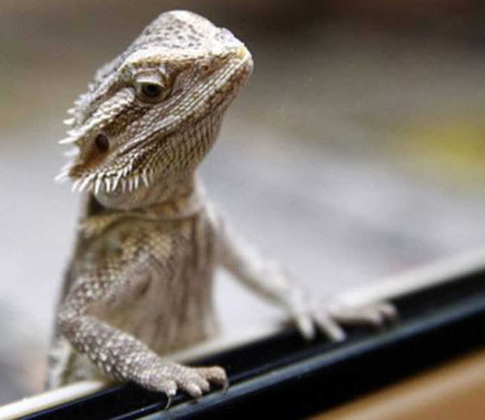 What Types Of Lizards Make Good Reptile Pets Petsourcing