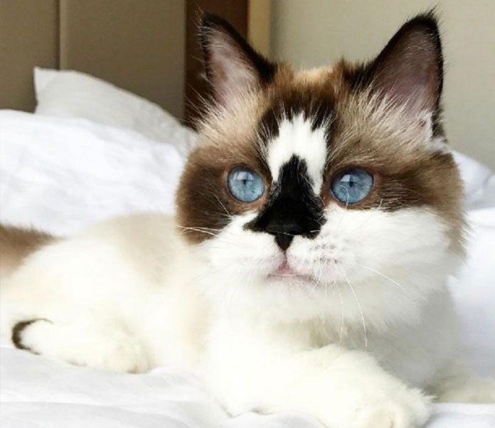 Unusual Cat Breeds Petsourcing