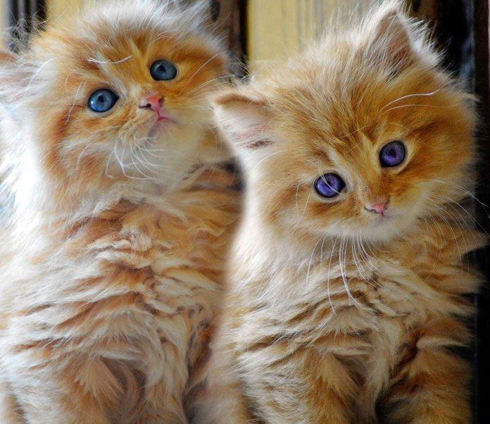 What You Need to Know about Persian Cat Care | Petsourcing