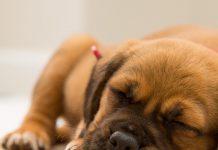 petsourcing-Do Dogs Dream