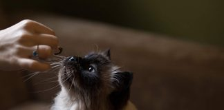 petsourcing-How to Feed Your Adult Cat