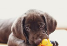 petsourcing-caring for your teething puppy