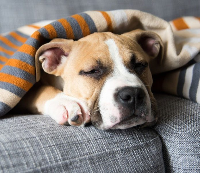 Can Dogs Get the Flu-petsourcing
